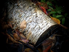 Floating birch log
