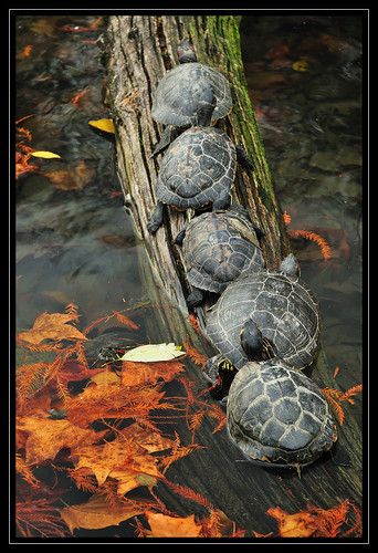 wood autumn nature leaves animal animals nikon turtles planet 1870mm d300