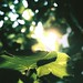 Small photo of Fig Tree