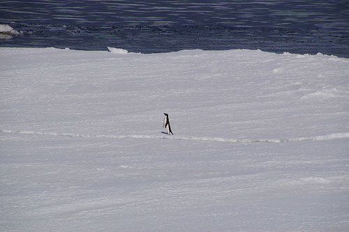 584 Weddell Sea met Adeliepinguin