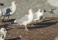 Goéland argenté - Larus argentatus - Herring Gull - 5JS8