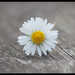 Narrow DOF Daisy