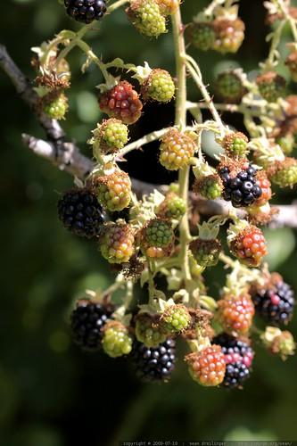 blackberries are finally ripe this week