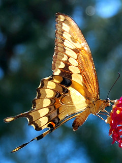 Western Giant Tiger Swallowtail