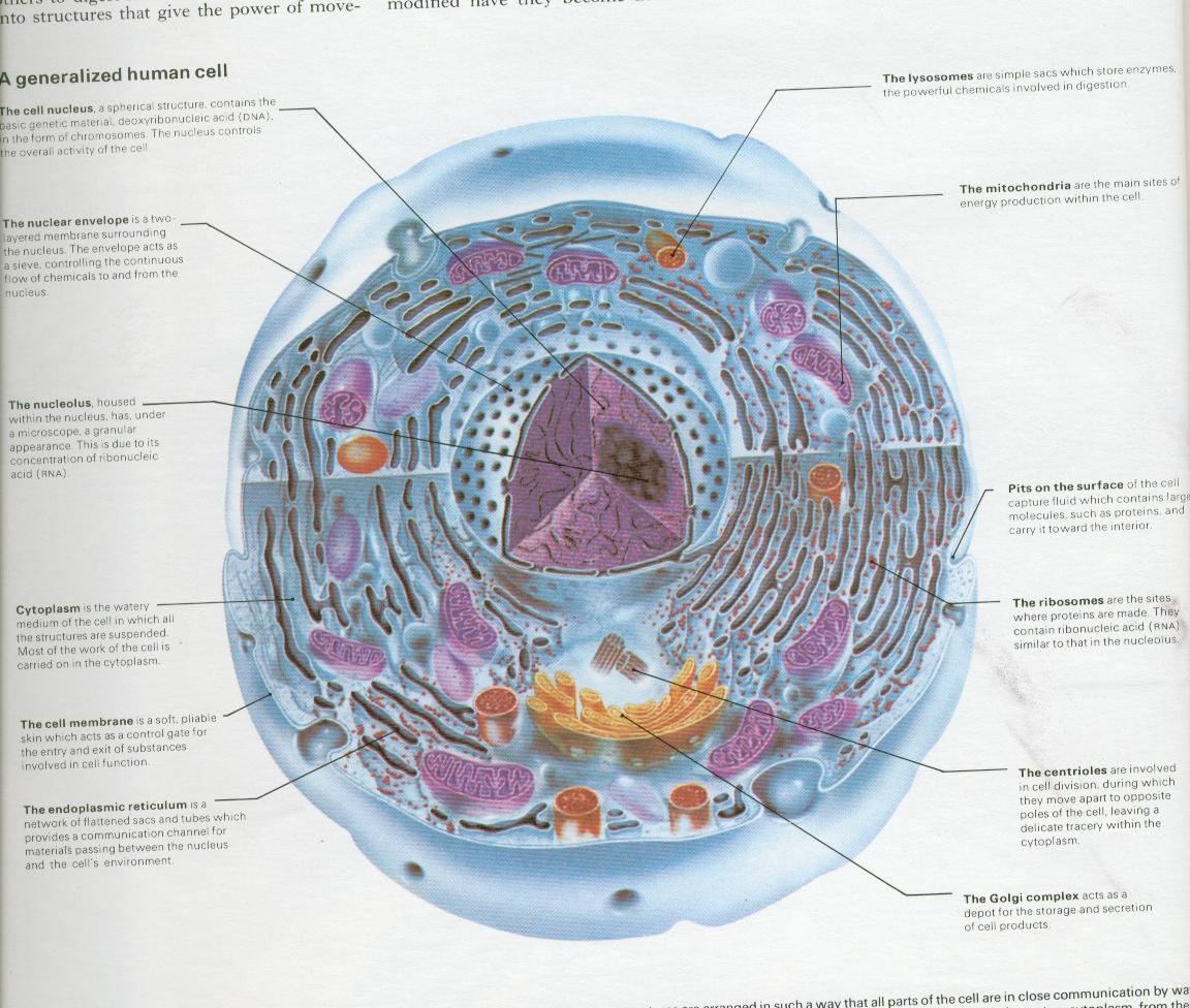 a generalized human cell - a photo on Flickriver