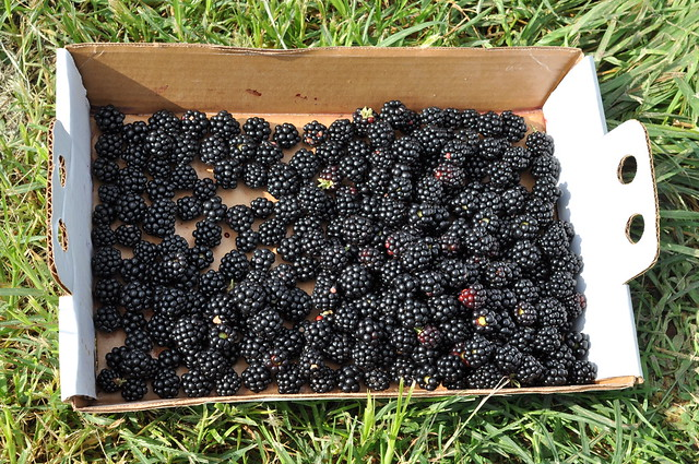 blackberries in field