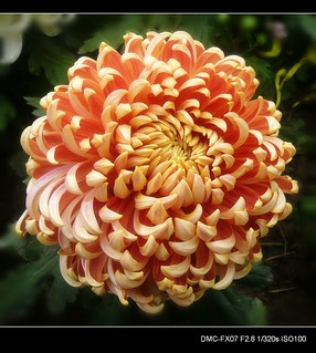 Chrysanthemum Show---3