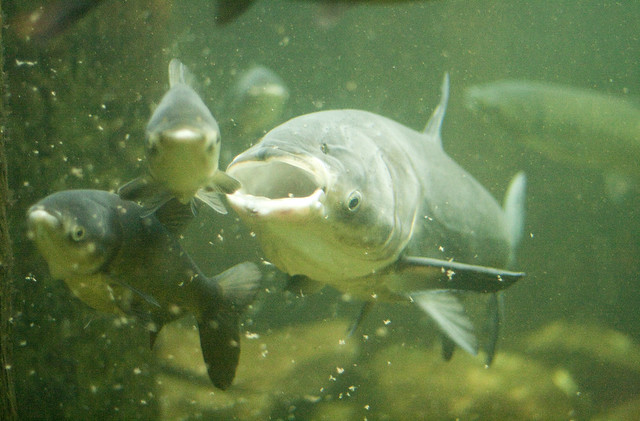 Asian carp shedd aquarium flickr photo sharing for Carp in a fish tank