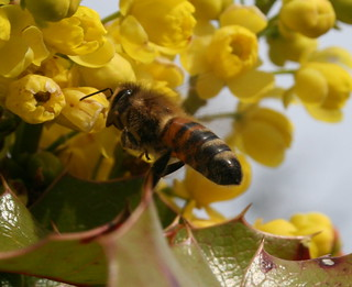 Honey Bee at the Oregon Grape