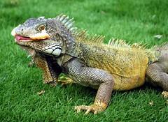 animal, reptile, lizard, fauna, iguana, scaled reptile, wildlife,