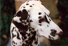 dog breed, animal, dog, mammal, dalmatian,