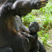 Gorilla begging with Baby