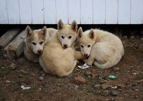 Greenland husky puppies!