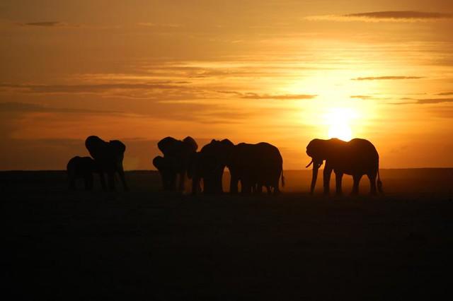 Elefantes en el Parque nacional de Amboseli. Kenia.