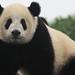 Small photo of China giant panda
