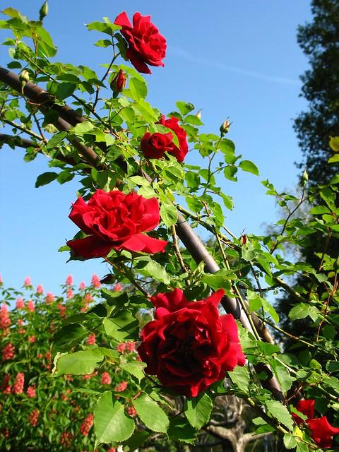 rose 39 climbing etoile de hollande 39 at adsworthy garden flickr photo sharing. Black Bedroom Furniture Sets. Home Design Ideas