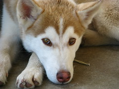puppy(0.0), alaskan malamute(0.0), dog breed(1.0), animal(1.0), west siberian laika(1.0), dog(1.0), czechoslovakian wolfdog(1.0), miniature siberian husky(1.0), alaskan klee kai(1.0), siberian husky(1.0), pet(1.0), shikoku(1.0), mammal(1.0), east siberian laika(1.0), tamaskan dog(1.0), greenland dog(1.0), northern inuit dog(1.0), wolfdog(1.0), saarloos wolfdog(1.0), native american indian dog(1.0), norwegian lundehund(1.0), sled dog(1.0),