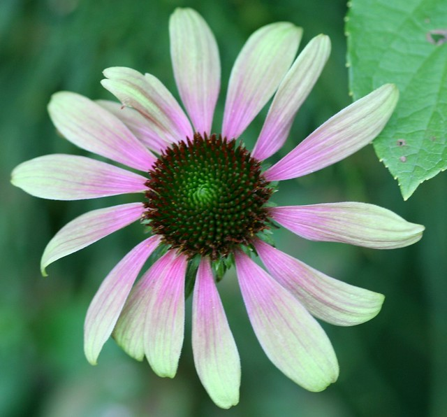 echinacea purpurea 39 green envy 39 flickr photo sharing. Black Bedroom Furniture Sets. Home Design Ideas