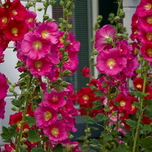 Problems With Hollyhocks Garden Guides