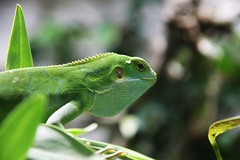 african chameleon(0.0), lacerta(0.0), animal(1.0), green lizard(1.0), reptile(1.0), nature(1.0), lizard(1.0), macro photography(1.0), green(1.0), fauna(1.0), close-up(1.0), american chameleon(1.0), lacertidae(1.0), dactyloidae(1.0), scaled reptile(1.0), wildlife(1.0),