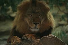 mane(0.0), animal(1.0), big cats(1.0), masai lion(1.0), lion(1.0), mammal(1.0), fauna(1.0), whiskers(1.0), safari(1.0), wildlife(1.0),