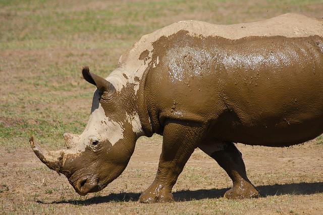 White Rhino at Lake Nakuru NP