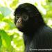 Spider Monkey Portrait - Chapare, Bolivia