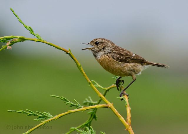 Tarabilla común - hembra / Stonechat - female (Saxicola torquata)