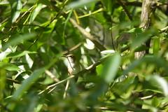 rufous hummingbird, snoqualimie valley trail near Carnation, WA_2_06172016