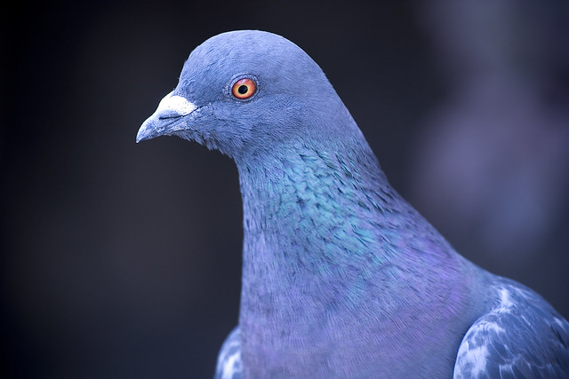 The Evil Pigeon