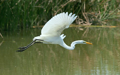 Photo by TexasEagle on Flickr. Great Egret in flight on 08/12/2009 at the pond in Bob Jones Park, Southlake, Texas.