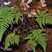 Myriopteris (Cheilanthes) lendigera por Polylepis