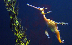 seahorse, animal, marine biology, underwater,