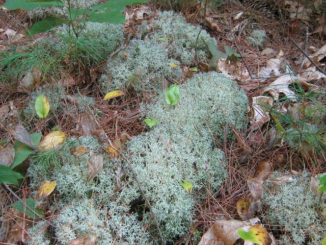 reindeer lichen | Flickr - Photo Sharing!