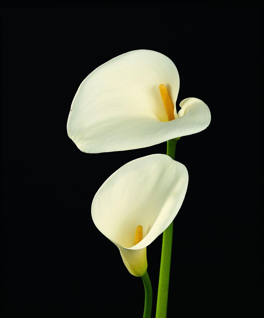 Calla (Zantedeschia aethiopica)