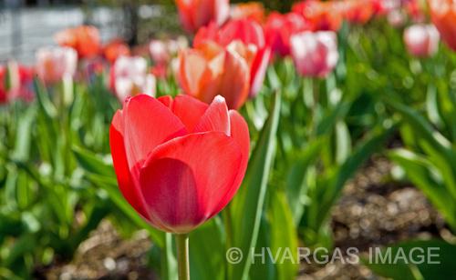 Tulip color_0126IB