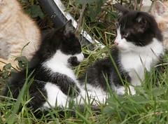 2 Tuxedo Kitten Friends