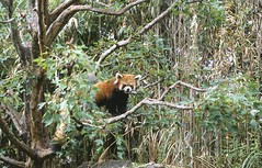 animal(1.0), woodland(1.0), rainforest(1.0), red panda(1.0), mammal(1.0), fauna(1.0), forest(1.0), natural environment(1.0), jungle(1.0), wildlife(1.0),