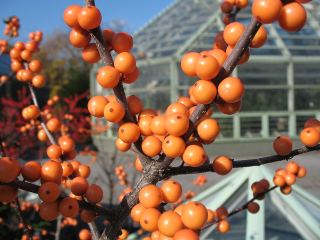 Orange Winterberries