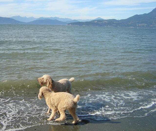 Fighting for the Ball at Spanish Banks Dog Beach in Vancouver