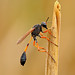 Small photo of Sphecidae