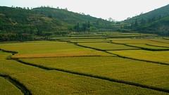 Guangdong 2006 - Rice