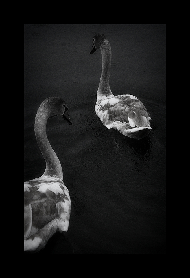 Photography: Cygnets at Angles by Nicholas M Vivian