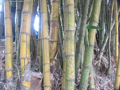 branch(0.0), wood(0.0), plant(0.0), cane(0.0), plant stem(0.0), bamboo(1.0), tree(1.0), trunk(1.0),