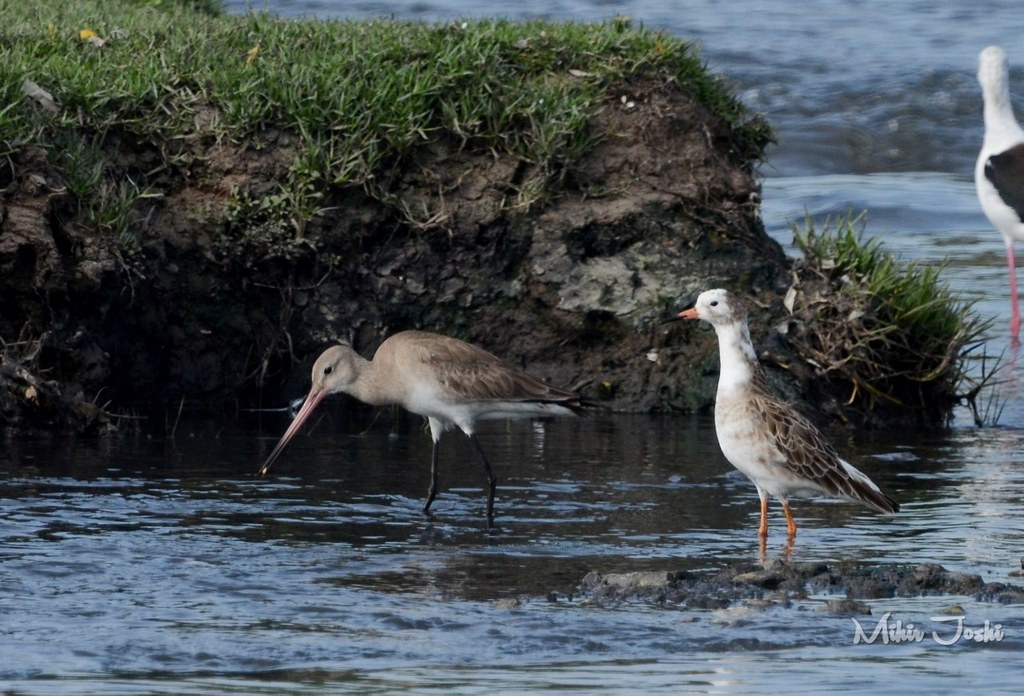Black-tailed Godwit, Ruff