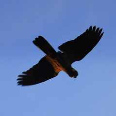 animal, bird of prey, wing, buzzard, kite, bird, flight,