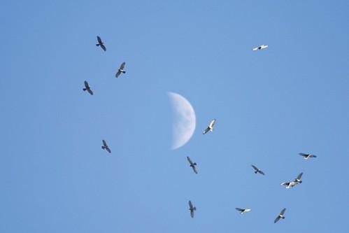禽流感對野外族群的影響,尚需進一步監測。(攝影:曹美華)