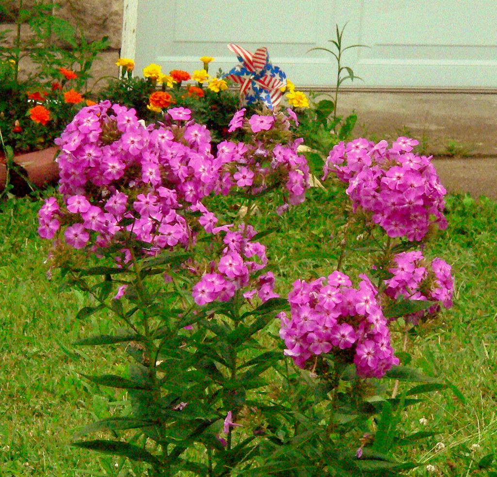 purple flower bush a photo on Flickriver