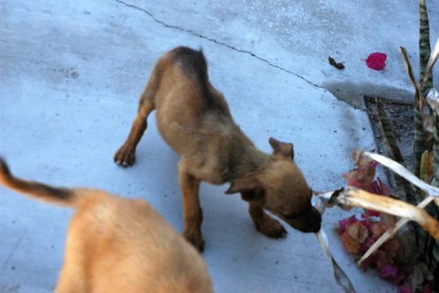 Image Result For San Bruno Dog