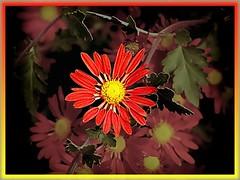 red chrysanthemums...